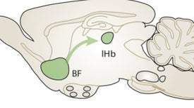 Animal Study Finds a Brain Circuit That Spurs Bullying