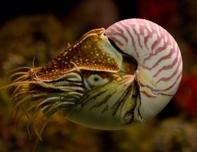 Nautilus Finally Moves toward Endangered Species Protection