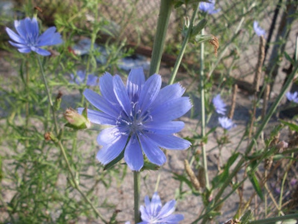 Chicory, the Wild Urban Herb