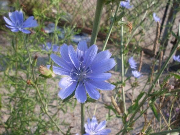 Chicory, the Wild Urban Herb