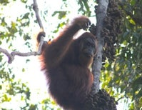 Call of the Orangutan: An Ape Named James