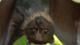 Are Bats Facing a Hidden Extinction Crisis?