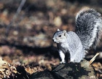 This Massive Squirrel Has Been Saved from Extinction