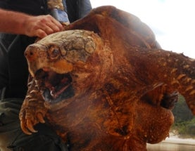 Alligator Snapping Turtles, the Dinosaurs of the Turtle World, Are Actually 3 at-Risk Species
