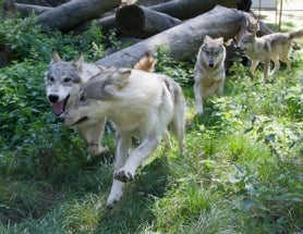Wolves Can Learn From Humans. What Does That Mean For Dogs?