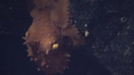 Halloween in the Deep: The Smaug Octopus [Video]