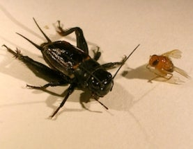 Infested female crickets are less choosy in who they have sex with