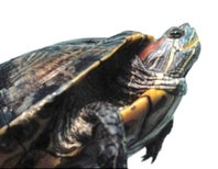 The Turtle with Human Eyes