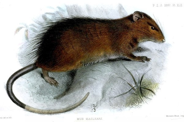 When This Rat Went Extinct So Did A Flea Scientific American Blog Network