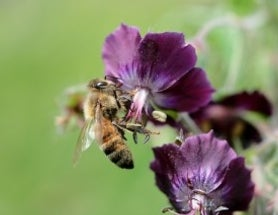 Cooling down in honeybees is affected by what others are doing
