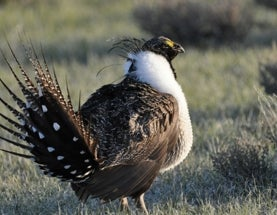 Sage Grouse and Oil Drilling Can Co-Exist, Says New Report