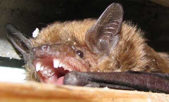 Bat-Killing Fungus Spreads to 2 New Species and 2 New States