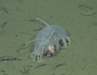 Why Are Juvenile Crabs Hitching Rides on Sea Pigs?