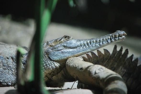 Why Crocodiles Look Like Whales