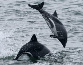 First Major Genetic Study of Elusive South African Dolphin Reveals a Species in Peril