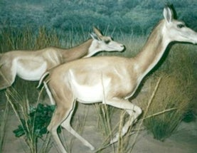 The Tet Zoo Guide to Gazelle Camels