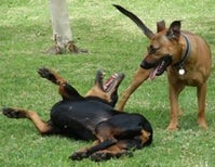 A Dog Rolling Over During Play Is a Combat Tactic, Not Submission