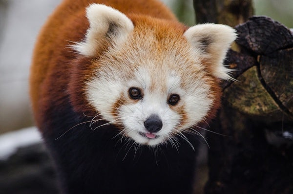 7 Things You Didn't Know About Red Pandas - Scientific American Blog