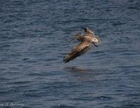 Photoblogging: Airborne Pelicans