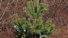 The Sex Life of Christmas Trees