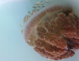 Move Over, Snotty: Australian Jellyfish Crambione Cookii Filmed for the First Time