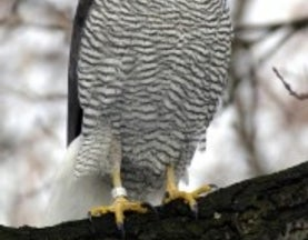 How a Goshawk Scalped Me—Twice