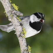 Chickadees Sing Different Songs Depending Where They're From