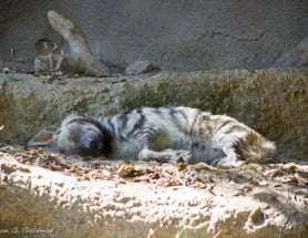 Photoblogging: Lazy Hyena