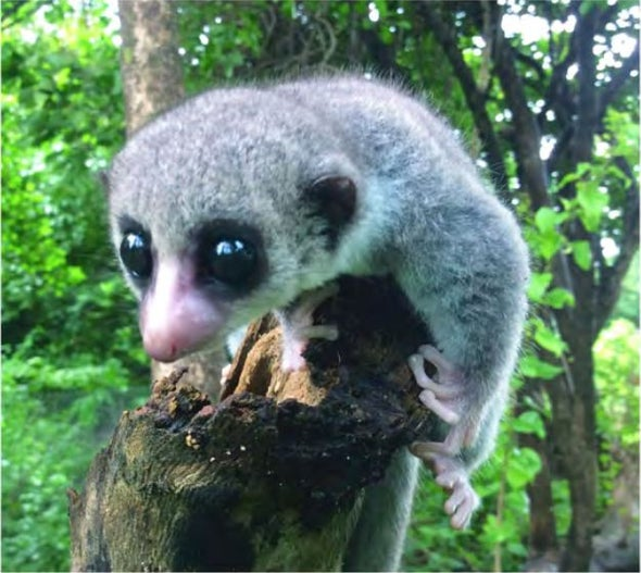 Stare into the Soulful Eyes of This Newly Discovered Dwarf Lemur Species