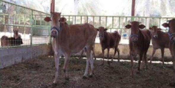 Saudi Arabian Cattle Breed Nearly Extinct