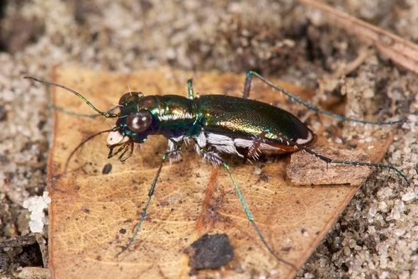1 Endangered Beetle Species Gets Protected, 2 More Go Extinct
