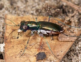 1 Endangered Beetle Species Gets Protected, 2 More Go Extinct