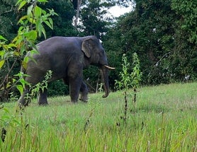Asian Elephants Help Seed the Forest