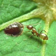California Ants Rally to Repel Argentine Invaders