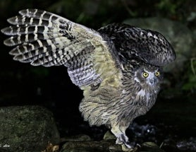 World's Largest Owl Needs Equally Large Trees and Forests (But It's More Complex Than That)