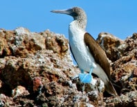 Blue-Footed Boobies Have Stopped Breeding, But Why?