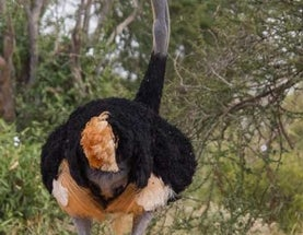 Somali Ostrich and 360 Other Newly Discovered Birds Added to List of Threatened Species