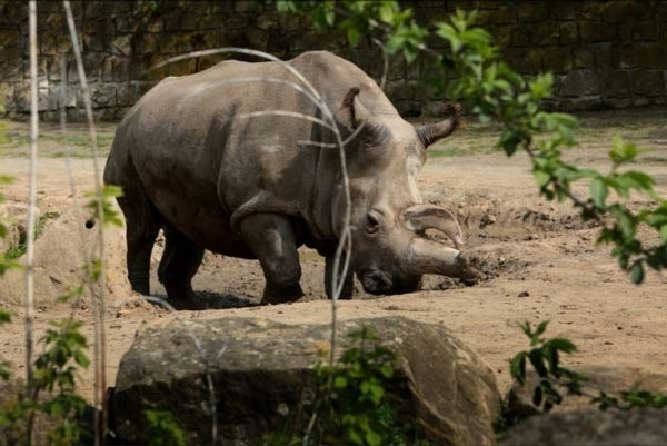 Another Northern White Rhino Dies--and Then There Were 4