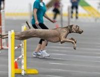 Do Dog Athletes Get Dog Injuries?