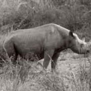 How the Western Black Rhino Went Extinct