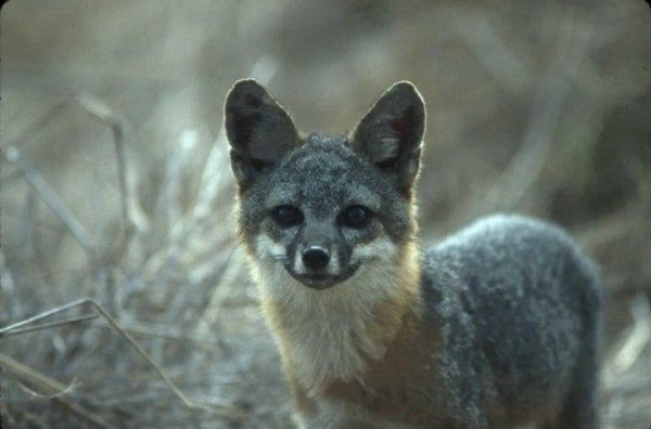 Island Fox May Have Lowest Genetic Variability of Any Wild Animal