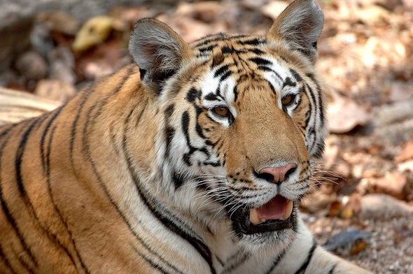Big News: Wild Tiger Populations are Increasing for the First Time in a Century
