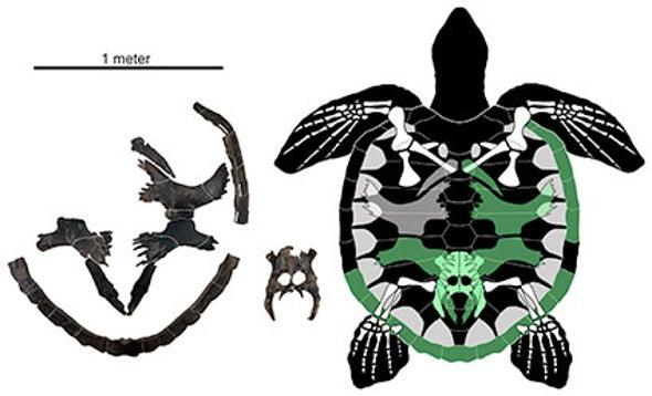 Paleo Profile: Martin's Sea Turtle