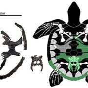 Paleo Profile: Martin's Sea Turtle