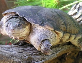 Genetic Tests Reveal 10 Previously Unknown African Terrapin Species