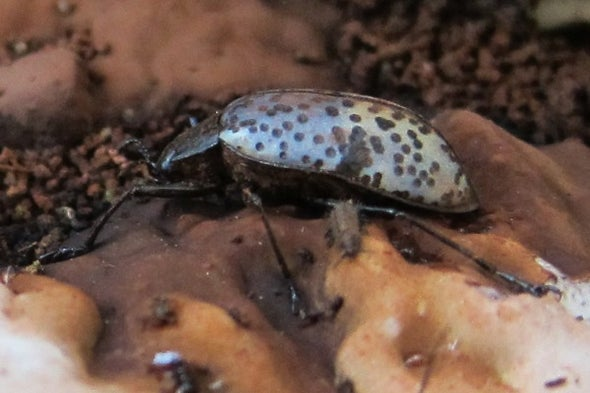 A Beetle Utopia on an Artist's Conk Fungus