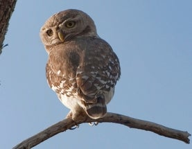 Sunday Species Snapshot: Forest Owlet