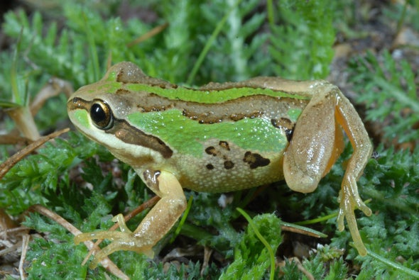 The Sneaky Ways 2 Frogs Are Beating a Killer Fungus