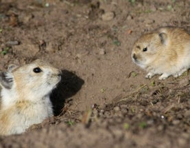 Here's why mass-poisoning pikas is a terrible idea (and not just because look at their fat little faces)