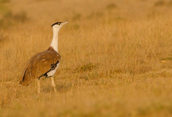 Is the Great Indian Bustard About to Go Extinct?